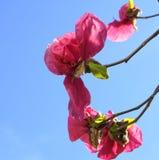 De Boom van de magnoliabloesem Mooie magnolia reuzebloemen tegen blauwe hemelachtergrond stock afbeelding