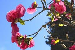 De Boom van de magnoliabloesem Mooie magnolia reuzebloemen tegen blauwe hemelachtergrond royalty-vrije stock fotografie
