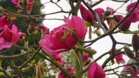 De Boom van de magnoliabloesem Mooie magnolia reuzebloemen tegen blauwe hemelachtergrond stock foto's