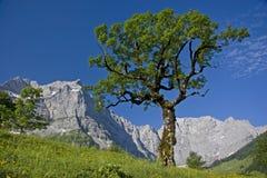 De boom van Marple in Oostenrijk stock afbeelding