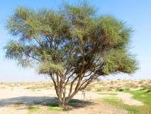 De Boom van Multibranch op het Gebied van de Woestijn Stock Fotografie
