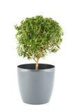 De boom van Myrtus royalty-vrije stock foto