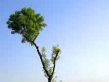 De boom van Neem Royalty-vrije Stock Foto