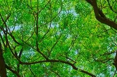 De boom van Neem Royalty-vrije Stock Fotografie