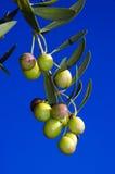 De boom van olijven royalty-vrije stock fotografie