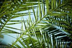 De boom van de palmtak onder blauwe hemel Uitstekende stijl Stock Afbeelding