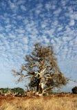 De boom van Paperbark Royalty-vrije Stock Afbeelding