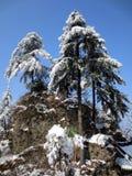 De boom van de pijnboom na sneeuw stock foto's