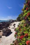 De boom van Pohutukawa, zet Maunganui Strand, Nieuw Zeeland op Stock Afbeelding