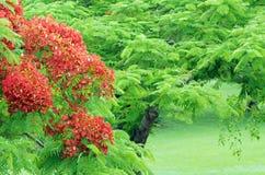 De boom van Poinciana Royalty-vrije Stock Afbeeldingen