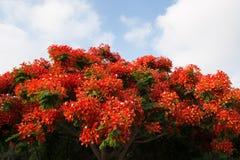 De boom van Poinciana Stock Foto's
