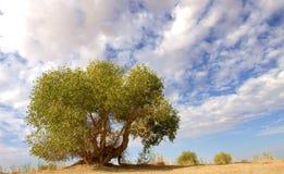 De boom van Populuseuphratica Stock Foto