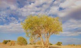 De boom van Populuseuphratica Royalty-vrije Stock Afbeelding