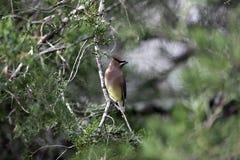 De Boom van profielcedar waxwing bird in cedar Royalty-vrije Stock Foto's