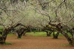 De boom van de pruim Stock Afbeeldingen