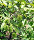 De boom van Rambutan royalty-vrije stock afbeelding