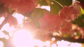 De boom van de Sakurakers bloeit bloesems stock videobeelden