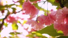 De boom van de Sakurakers bloeit bloesems stock footage