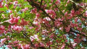 De boom van de Sakurakers bloeit bloesems stock video