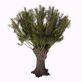 De Boom van Salixviminalis Stock Afbeelding