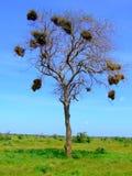 De boom van Savana Stock Afbeeldingen