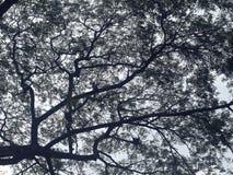 De boom van de silhouettamarinde tegen hemel in zwart-wit Royalty-vrije Stock Afbeelding