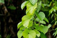 De boom van Tinosporacordifolia stock foto's