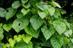 De boom van Tinosporacordifolia stock afbeeldingen