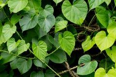 De boom van Tinosporacordifolia royalty-vrije stock afbeelding
