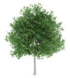 De boom van de tulp die op wit wordt geïsoleerdo Royalty-vrije Stock Foto's