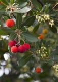 De boom van Unedo van Arbutus Stock Afbeelding