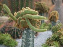 De boom van de vingercactus in de tuin stock foto
