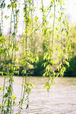 De boom van Wilow Royalty-vrije Stock Fotografie