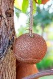 De boom van de zaadkanonskogel het hangen Stock Afbeelding
