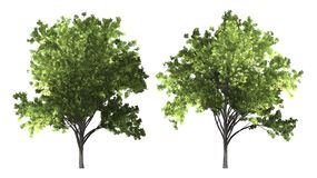 De boom van Zelkovaserrata op witte achtergrond met het knippen van weg wordt geïsoleerd die stock afbeeldingen
