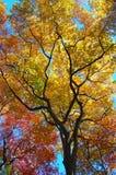 De boom verlaat veranderende kleuren als dalingsbenaderingen Stock Afbeelding