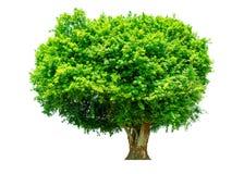 De boom is volledig gescheiden van de achtergrond, wetenschappelijke naam siamensis Kurz Pax stock afbeeldingen