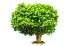 De boom is volledig gescheiden van de achtergrond, wetenschappelijke naam siamensis Kurz Pax royalty-vrije stock foto's