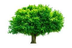 De boom is volledig gescheiden van de achtergrond, wetenschappelijke naam siamensis Kurz Pax stock foto