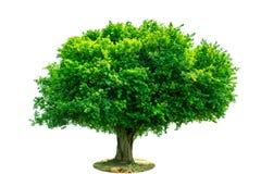 De boom is volledig gescheiden van de achtergrond, wetenschappelijke naam siamensis Kurz Pax stock afbeelding