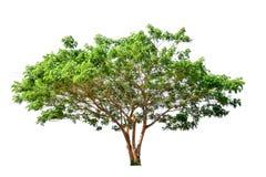 De boom is volledig gescheiden van het wit stock fotografie