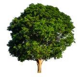 De boom is volledig gescheiden van witte bedelaars genoemd Wetenschappelijk als achtergrond royalty-vrije stock afbeeldingen