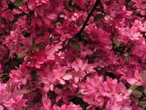De boom volledige bloei van de kers Stock Foto