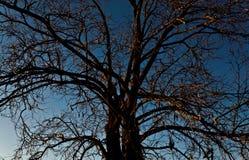 De boom zonder doorbladert stock afbeelding