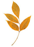De boomblad van de as dat op het wit wordt geïsoleerd Royalty-vrije Stock Foto