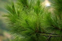 De boombladeren van de pijnboom