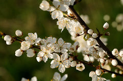 De boombloem van de appel Stock Afbeeldingen