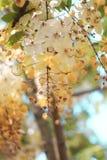 De boombloem van de regenboogdouche in Thailand royalty-vrije stock foto's