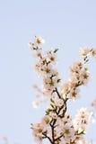 De boombloemen van de amandel in de lente. Stock Fotografie