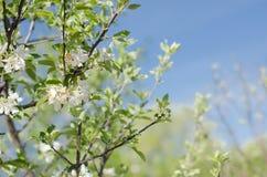 De boombloemen van de appel Stock Afbeeldingen